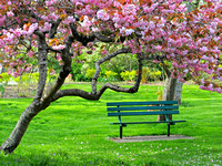 Bench under the cherry bloom